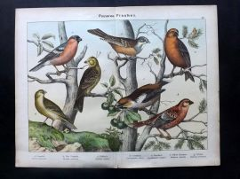 Kirby & Schubert 1889 Antique Bird Print. Crossbill, Grosbeak, Bullfinch, Ortolan